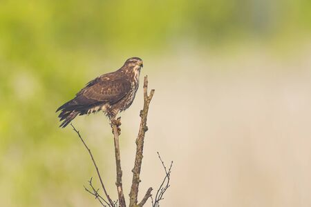 Closeup of a common buzzard, Buteo buteo bird of prey , in flight, touching down and hunting over a colorful meadow and green background Фото со стока - 132063141