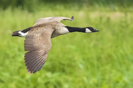 Close-up of Canadian geese Branta canadensis in flight migrating above a green meadow