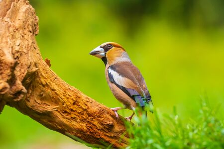 Closeup of a beautiful male hawfinch, Coccothraustes coccothraustes, songbird foraging on the ground perched in a green grass meadow Фото со стока - 132864433