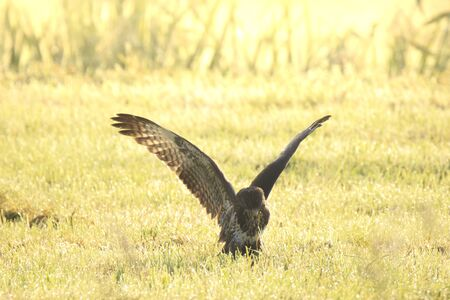 Buzzard Buteo buteo landing while hunting on a meadow during a foggy sunrise. catch a prey in its habitat. Фото со стока - 132063283
