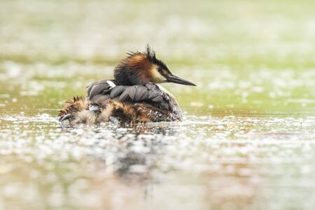 Portrait closeup of a great crested grebe, Podiceps cristatus swimming on the water surface on a lake. Фото со стока - 132062268