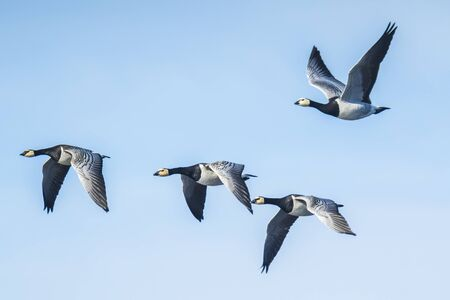 Close-up of Canadian geese Branta canadensis in flight migrating Фото со стока - 132063535