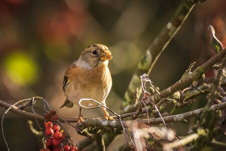 Closeup of a brambling bird, Fringilla montifringilla, in winter plumage feeding orange berries of Sorbus aucuparia, also called rowan and mountain-ash in a forest during Autumn season Фото со стока - 132864448