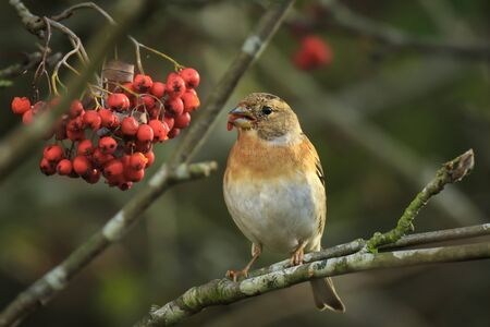 Closeup of a brambling bird, Fringilla montifringilla, in winter plumage feeding orange berries of Sorbus aucuparia, also called rowan and mountain-ash in a forest during Autumn season Фото со стока - 132864450