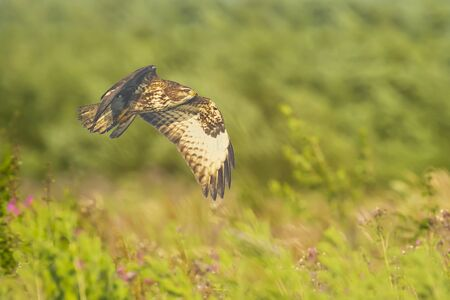 Closeup of a common buzzard, Buteo buteo bird of prey , in flight, touching down and hunting over a colorful meadow and green background Фото со стока - 132063156