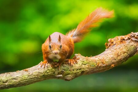 Closeup of  a Eurasian red squirrel, Sciurus vulgaris, walking, running and jumping through trees in a forest on branches. Sunny day, bright and vibrant sunlight colors. Фото со стока - 132864453