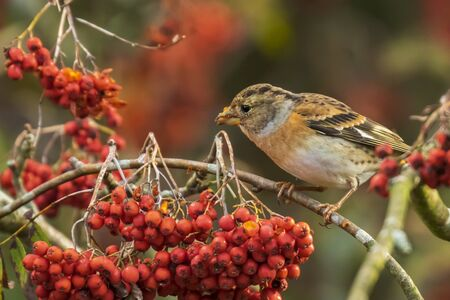 Closeup of a brambling bird, Fringilla montifringilla, in winter plumage feeding orange berries of Sorbus aucuparia, also called rowan and mountain-ash in a forest during Autumn season Фото со стока - 132864455