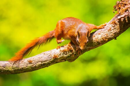 Closeup of  a Eurasian red squirrel, Sciurus vulgaris, walking, running and jumping through trees in a forest on branches. Sunny day, bright and vibrant sunlight colors.