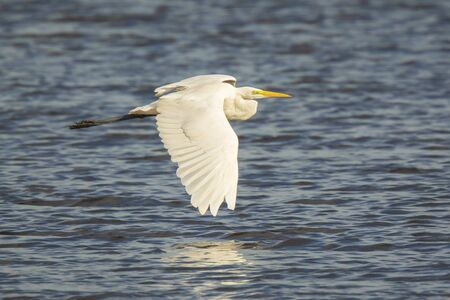 Closeup of a  great egret Ardea alba in flight, fishing in a lake during sunset Фото со стока - 132062754
