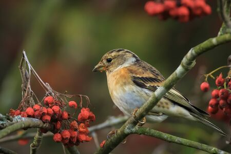 Closeup of a brambling bird, Fringilla montifringilla, in winter plumage feeding orange berries of Sorbus aucuparia, also called rowan and mountain-ash in a forest during Autumn season Фото со стока - 132864460