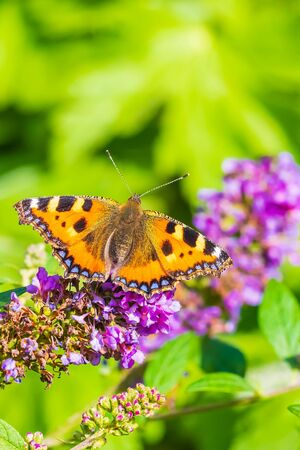 Small tortoiseshell Aglais urticae butterfly wings open detailed top view closeup. Pollinating on purple buddleja flowers, natural sunlight, selective focus, isolated by nature Фото со стока - 133512700