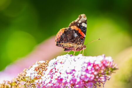 Red Admiral butterfly, Vanessa atalanta, feeding nectar from a purple butterfly-bush in garden. Bright sunlight, vibrant colors. Фото со стока - 133512703