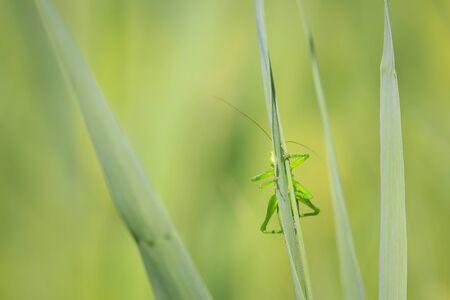 Macro close-up of a Great Green Bush-cricket, Tettigonia viridissima. Фото со стока - 133512708