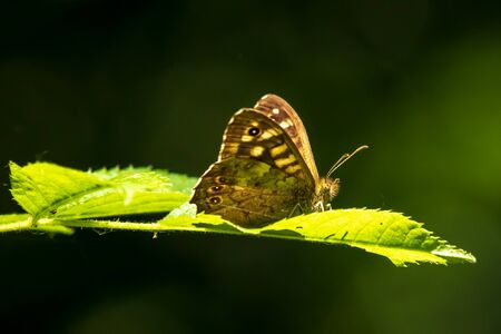 Side view of a speckled wood butterfly, Pararge aegeria. Resting on a leaf in a forest with open wings Фото со стока - 133512709