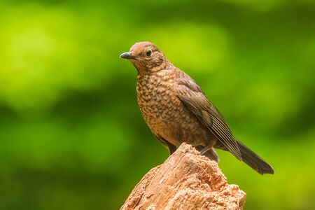 Closeup of a european Blackbird female (turdus merula) in a forest Фото со стока - 133512711