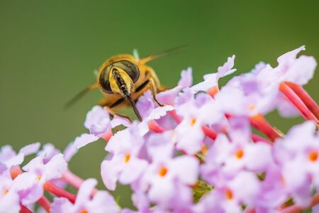 Drone fly Eristalis tenax insect pollination on purple buddleja flowers on a sunny day Фото со стока - 133512713