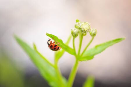 Ladybug or ladybird insect climbing. Fresh, vibrant colors and sunlight. Selective soft focus. Фото со стока - 133512718