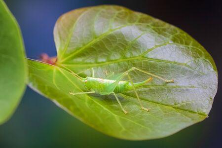 Meconema thalassinum, oak bush-cricket or drumming katydid on a leaf in a tree Фото со стока - 133512721