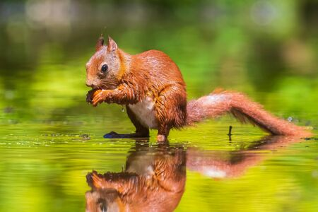 Beautiful Eurasian red squirrel, Sciurus vulgaris, drinking and foraging in water with reflection. Forest wildlife, selective focus, natural sunlight. Фото со стока