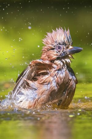 Closeup of a wet Eurasian jay bird Garrulus glandarius washing, preening and cleaning in water. Selective focus and low poit of view