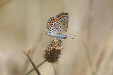 Close up of a small silver-studded blue butterfly female Plebejus argus resting on vegetation