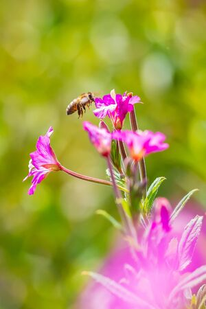 Closeup of a western honey bee or European honey bee (Apis mellifera) feeding nectar of pink great hairy willowherb Epilobium hirsutum flowers