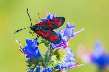 Closeup of a six-spot burnet butterfly Zygaena filipendulae, pollinating on purple Echium vulgare blueweed flowers during daytime.