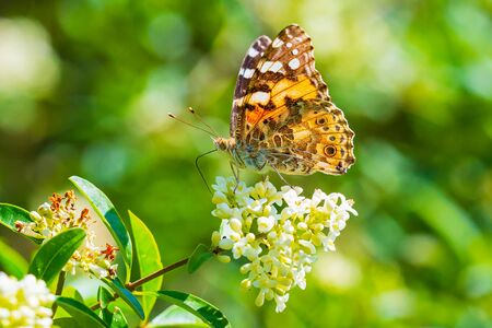 Painted Lady butterfly (vanessa cardu) feeding nectar on white flowers in a forest Фото со стока
