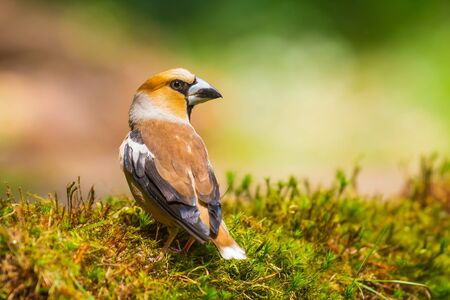 Closeup of a male hawfinch Coccothraustes coccothraustes bird perched in a green grass field. Selective focus and natural sunlight