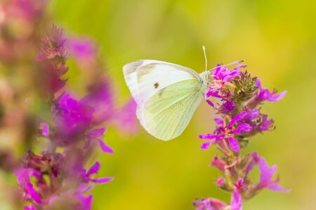 Pieris rapae small white butterfly feeding nectar from pink purple flowers in a colorful meadow. Bright natural sunlight, vibrant colors, selective focus. Фото со стока