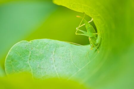 Meconema thalassinum, oak bush-cricket or drumming katydid on a leaf in a tree Фото со стока