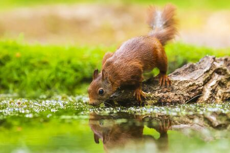 Eurasian red squirrel, Sciurus vulgaris, drinking water in a forest pond. Low point of view, selective focus natural sunlight