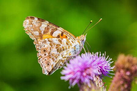 Painted Lady butterfly vanessa cardu feeding nectar from a purple thistle flower. Фото со стока