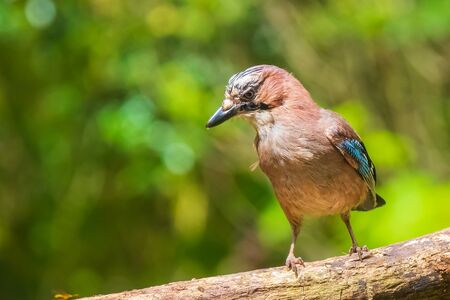 Closeup of a Eurasian jay bird Garrulus glandarius perched on a branch in a forest Summer colors on the background.