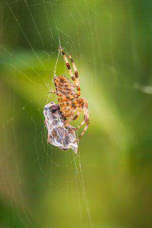 Closeup of a cross spider, araneus diadematus, eating a prey caught in a web