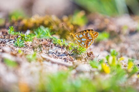 Queen of spain fritillary, issoria lathonia, butterfly resting in a meadow. Coastal dunes landscape, daytime bright sunlight. Фото со стока