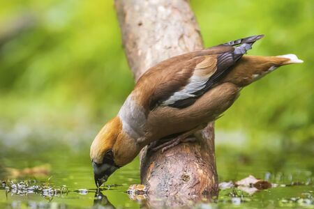 Closeup of a hawfinch male, Coccothraustes coccothraustes, songbird drinking water. Selective focus and natural sunlight with vibrant colors.