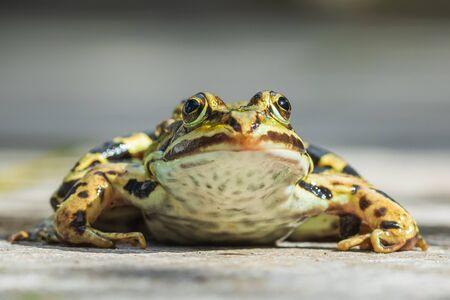 Closeup of a marsh frog, Pelophylax ridibundus, on a garden floor. Low point of view, selective focus.