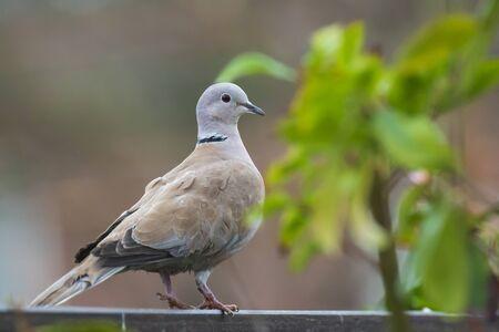 Closeup of a Eurasian collared dove Streptopelia decaocto bird, perched on a garden fence.