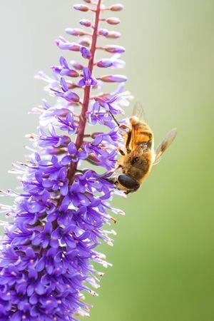 Drone fly Eristalis tenax insect feeding on purple Buddleja flowers on a sunny day Фото со стока