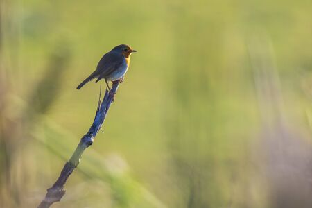 European robin (Erithacus rubecula) perching in a field with beautiful sunlight.