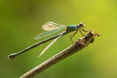 Chalcolestes viridis, Willow emerald damselfly or western willow spreadwing drying wings bathing in sunlight.