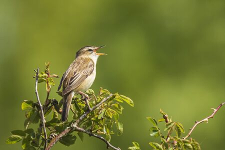 Closeup of a Sedge Warbler bird, Acrocephalus schoenobaenus, singing to attract a female during breeding season in Springtime 免版税图像