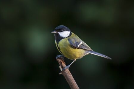 Closeup portrait of a Great tit bird, Parus Major, perched on wood in bright sunlight Фото со стока