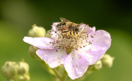 Drone fly Eristalis tenax insect feeding on pink flowers on a sunny day Фото со стока