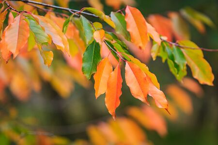 Autumn forest colored leaves closeup in daylight scenery, vibrant colores