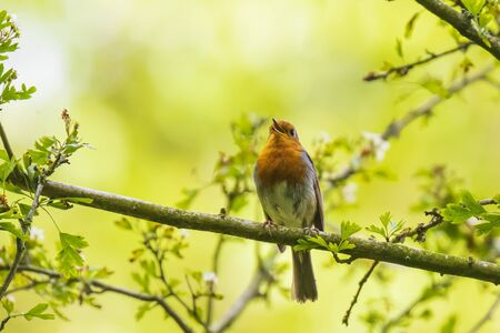European robin (Erithacus rubecula) singing in sun rays sunlight during mating season in Springtime. Фото со стока
