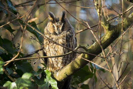 Long eared owl Asio otus bird of prey perched and resting in a tree. winter daytime colors facing camera. Фото со стока