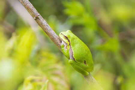 Closeup of a small European tree frog Hyla arborea, Rana arborea, resting in a blackberry bush heating up in the sun.