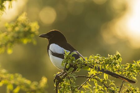 Eurasian magpie or common magpie Pica pica perched in a tree during a beautiful sunset Фото со стока